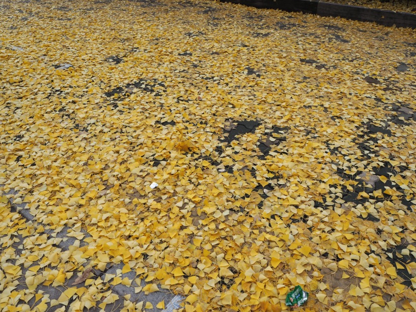 Leaves that had fallen and covered many paths in Seoul after a downpour.